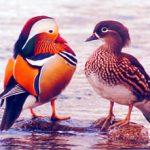 [日野町]「オシドリ観察小屋」ピーク時には約1000羽のオシドリが!北帰行がはじまっています。